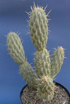 """""""Miqueliopuntia miquelii.""""  From Chrome research: """"Miqueliopuntia miquelii is a species of cactus and the only species comprised in the genus Miqueliopuntia. Miqueliopuntia miqueli is native to the Chilean coasts of South America.Wikipedia."""""""