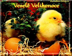 Veselé Velikonoce obrázky, citáty a animace pro Facebook - ObrazkyAnimace.cz Cute Baby Bunnies, Cute Babies, Bunny, Happy Birthday Quotes, Easter, Humor, Animals, Moving Pictures, Wallpaper Backgrounds