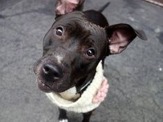 TO BE DESTROYED - SATURDAY - 4/19/14 URGENT - Manhattan Center   DAISY - A0996181   FEMALE, BLACK / WHITE, PIT BULL MIX, 2 yrs  STRAY -04/09/2014