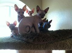 cats for sale hairless california - Google Search