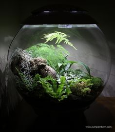 I am reviewing and trialling the BiOrbAir, a special terrarium created by Reef One. I'll be updating this page each month with a photograph of my BiOrbAir.