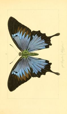 The Biodiversity Heritage Library works collaboratively to make biodiversity literature openly available to the world as part of a global biodiversity community. Butterfly Sketch, Butterfly Books, Butterfly Painting, Vintage Butterfly, Butterfly Art, Butterfly Template, Monarch Butterfly, Illustration Papillon, Illustration Botanique