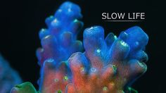 """""""Slow"""" marine animals show their secret life under high magnification. Corals and sponges are very mobile creatures, but their motion is only detectable at different time scales compared to ours and requires time lapses to be seen. These animals build coral reefs and play crucial roles in the biosphere, yet we know almost nothing about their daily lives."""