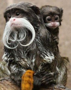 The newest, cutest baby animals from the world's accredited zoos and aquariums. Cute baby animal pictures and videos by date, species, and institution. Primates, Cute Creatures, Beautiful Creatures, Animals Beautiful, Nature Animals, Animals And Pets, Wild Animals, Cute Baby Animals, Funny Animals
