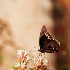 Elegante mariposa