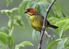 Fulvous-headed Brush-Finch - Atlapetes fulviceps