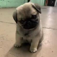 Weeble Wobble 😍😍 We love you ❤️ Super Cute Puppies, Super Cute Animals, Cute Little Animals, Cute Dogs And Puppies, Cute Funny Animals, Cute Baby Pugs, Pekinese, Pug Puppies, Chihuahua