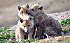 Three, Artic wolf pups from the documentary with Gordon Buchanan, Snow Wolf family and me. Snow Wolf, Two Wolves, Arctic Wolf, Wolf Pup, Mans Best Friend, Polar Bear, Animals Beautiful, Cubs, Animal Pictures