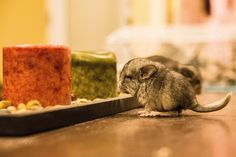 High baby chinchilla lights a few candles to cover up the the smell of weed.