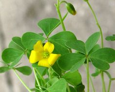 The Bushcraft Wife Project: Urban Wild Edibles - Yellow Wood Sorrel Unusual Plants, Rare Plants, Yellow Flowers, Wild Flowers, Wood Sorrel, Weeds In Lawn, Edible Wild Plants, Edible Food, Wild Edibles