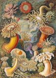 From Art Forms in Nature, by Ernst Haeckel