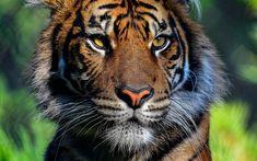 pierdere purple tiger greutate