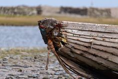 On the north end of North Ronaldsay just below the Old Beacon are a number of old fishing boats.  Tied up and slowly being taken by the wild winds and air heavy with salt these old ladies still have a little colour and character left in them. . . Camera Settings Canon 70D EF-S55-250 250mm 1/1600 sec f/5.6 ISO 250 . . #northronaldsay #orkney #orkneyisland #visitorkney #scottishislands #boat #woodenboat #classicboat #oldboat #fishingboat #island #islandlife #wood #metal #oldpaint #abandoned…