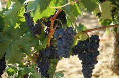 En esta imagen se puede apreciar como los granos de uva que adaptan su color comienzan a engordar