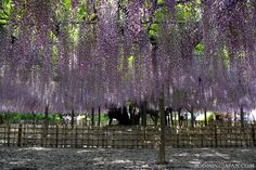 Beautiful wisteria in Saitama Prefecture (May 2013).