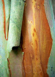 [Corteza de árbol del Mirto Crespón] by Sally Siko of Silvercord Photography