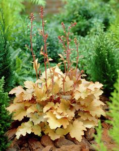 Heuchera Amber Waves                                                                                                                                                                                 More