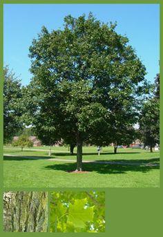Acer saccharum, #tree, #form