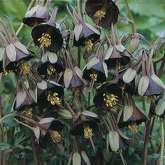 #gothgardening Aquilegia viridiflora 'Chocolate Soldier' Columbine, Granny's Bonnet