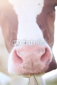 A swiss cow is eating gras Agriculture, Animals, Photos, Cow, Photo Illustration, Animales, Animaux, Animal Memes, Animal