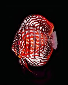 Pretty Fish, Cool Fish, Beautiful Fish, Tropical Freshwater Fish, Freshwater Aquarium, Tropical Fish, Discus Aquarium, Discus Fish, Fish Aquarium Decorations
