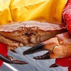 Crab #nusfjord #nusfjordfisk #fiskemottak #offshorefishing #openwaterfishing #torsk #skrei #nusfjordrorbuer #fishing #havfiske #fiskevær #vestfjorden #pesca #lofoten #commercialfishing #guycotten #anotherescape #norway #crab #krabbe #lofotfiske #cod #cabin #thisisscandinavia #classicnorway #rorbu #lofotenislands by nusfjord2020