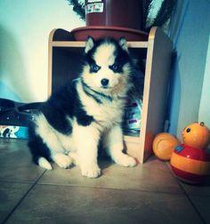 Lil Wolf 2 months