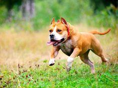 Бойцовские собаки (фото): сочетание силы и преданности Смотри больше http://kot-pes.com/bojcovskie-sobaki-foto-sochetanie-sily-i-predannosti/