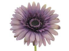 purple gerbera daisy wedding bouquets | Botanic Artistry Purple Gerbera Daisy