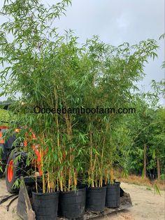 Bamboo Plants For Sale, Ocoee Florida, Temple Terrace, Clumping Bamboo, Neptune Beach, Royal Palm Beach, Privacy Plants, Hallandale Beach, Oakland Park