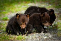 Three baby black bears exploring in the Smoky Mountains