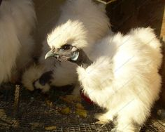 Showgirl Silkie pullets and cockerels