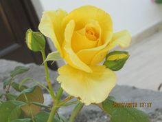 wonderful yellow rose in Syvota Greece