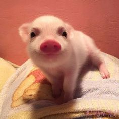 Isn't this the cutest little piglet? Cute Animal Pictures: 150 Of The Cutest Animals! Cute Baby Pigs, Cute Piglets, Baby Piglets, Animals And Pets, Funny Animals, Nature Animals, Farm Animals, Teacup Pigs, Funny Animal Pictures