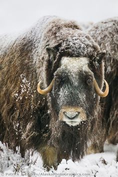 Muskox with snow covered quviut stands on the snowy tundra of Alaska's arctic north slope. Animals Beautiful, Cute Animals, Artic Animals, Majestic Animals, Alaska, Musk Ox, Interesting Animals, Cattle, Impala