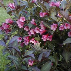 Weigela, Wine and Roses