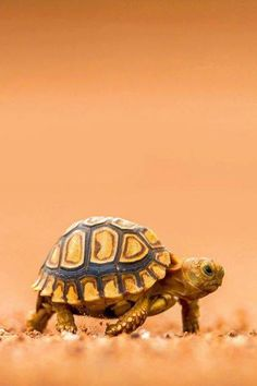 Baby Tortoise. I can barely stand the cuteness.