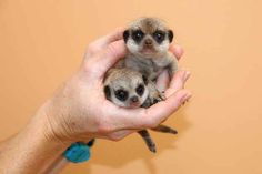 On January 7, Taronga Zoo in Sydney, Australia, welcomed the birth of two meerkat pups. The pups were the first to be born at the zoo for seven years.
