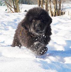 Winter Newfie