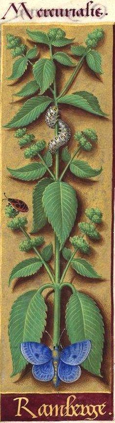 """Ramberge - Mercurialis (Mercurialis annua L. = foirasse, vignette -- """"ramberge"""" est encore utilisé en Normandie) -- Grandes Heures d'Anne de Bretagne, BNF, Ms Latin 9474, 1503-1508, f°100r"""