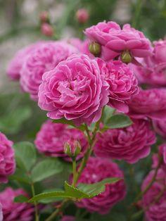 Rose, Blue Boy : @ T.kiya