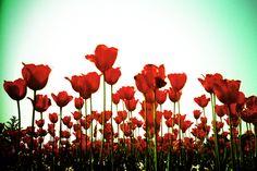"""""""Red Garden"""" #Lomography #Lomo #AnalogueLove #Lomografía"""