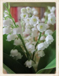 Lily of the Valley...one of my  favorites