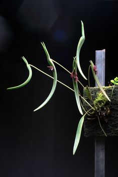 Miniature-orchid / Micro-orquidea: Pleurothallis dilemma