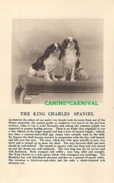 Cavalier King Charles Spaniel RARE Vintage Print 1931 Breed Description Photo | eBay