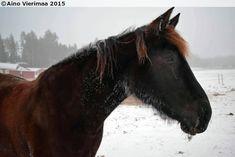 Finnhorse/Standardbred gelding Maijan Roco (Lunar Embrace x Kilun Maija)