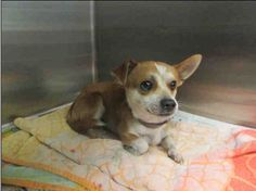 ♣This DOG - ID#A1529148  I am an unaltered male, tan #Chihuahua - Smooth Coated.  My age is unknown. I weigh approximately 8 pounds.  I have been at the shelter since Jan 06, 2015.   East Valley Animal Shelter 14409 Vanowen Street Van Nuys, CA 91405 https://www.facebook.com/Eastvalleyshelter/photos/a.663165087135106.1073741829.661844553933826/715314781920136/?type=3&theater