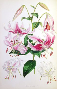 Stargazer Lillies. Lilian Snelling (1879-1972), for thirty years the principal artist for Curtis's Botanical Magazine,was one of the last of the botanical artists who worked in the nineteenth century tradition. Until 1948, she redrew her original water colors onto zinc plates for reproduction, then hand-painted a master print for a team of colorists to copy.