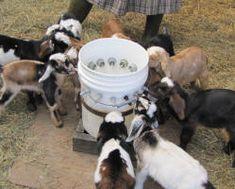 feeding bottle goat kids
