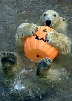 Polar Bear loves his Pumpkin funny cute animals bear swim halloween polar